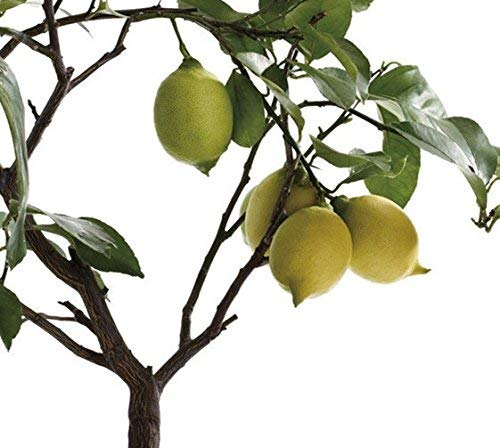 20pcs Lemon Tree graines graines de fruits bonsaï plante bricolage maison jardin graines citron intérieur, graines comestibles BONSAï graines vert citron