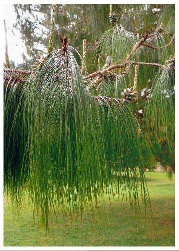 TROPICA - Mexikanische Pinie (Pinus patula) - 40 Samen