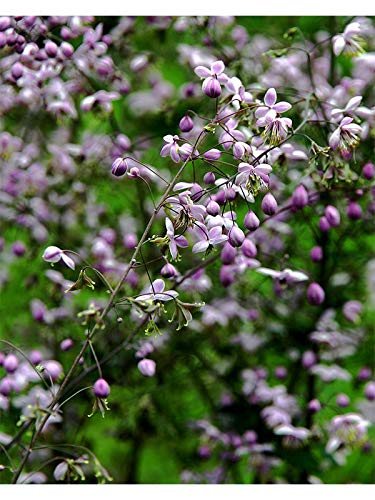 Thalictrum delavayi Chinese Meadow Rue (Sent in 9cm pots) (3)