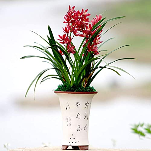 Live Orchid Plants - Easy Care Large Flowers Orchids Air Purifying Live Houseplant, Indoor Elegant Plant Decoration, Not Yet in Bloom, Pot not Included (Red General)