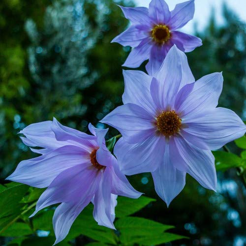 Plant World Seeds - Dahlia Imperialis 'Caerulea' Seeds