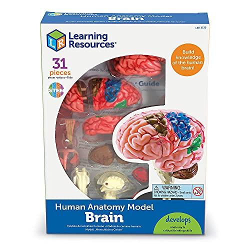 Learning Resources - Cerebro educativo (9,6 cm)