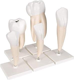 Tandmodel, 5 Smart Anatomy Models Dental Model Verwijderbare Typodes Practice Modus Gingiva Zichtbare Anatomische Demonstr...