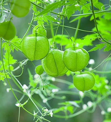 Yukio Samenhaus - 50pcs Ballonwein Herzballon schnellwachsend Kletterpflanzen, Zierpflanzen Herzsame exotisch Samen winterhart mehrjährig zur Kübel- und Balkonkastenbepflanzung