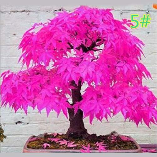 YUiiiil 20Pcs Japanese Maple Seed Bonsai DIY Plant Flower Pot Colorful Leaves Creative Household Home Mini Gardening Decor