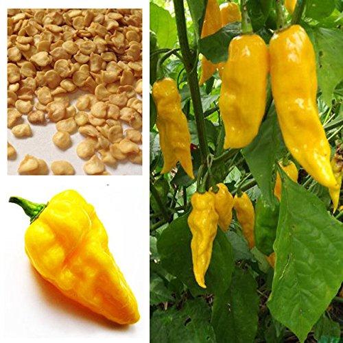 Brend Nouveau !!! 100 pièce Hot Chili Habanero Devils Tongue graines de piment jaune - HOT !!! FORTS