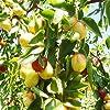 Bshopy 10pcs de jujube fruits Graines Véritables jujube de graines exotiques Bonsaï naturel Sain beau facile Délicieux organique Vivace plante grandir #3