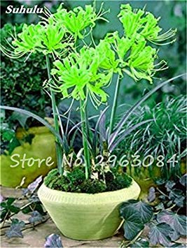 Big Sale! 100 Pcs Red Lycoris Graines Plante en pot Lycoris Radiata Graines de fleurs Plantation vivace intérieur Fleurs Bonsai Graine de plantes 17