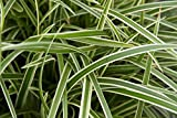 5 x Carex morrowii 'Ice Dance' Bodendecker ab 2