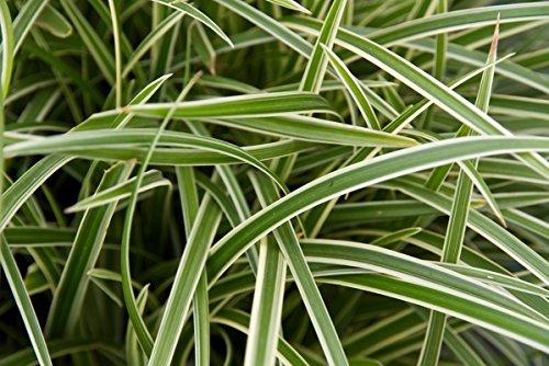 5 x Carex morrowii 'Ice Dance' (Ziergras/Gräser/Stauden) Bodendecker ab 2,39 € pro Stück