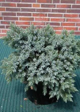 blauer Kriech Wacholder Juniperus squamata Blue Carpet 25-30 cm breit im 3 Liter Pflanzcontainer