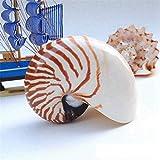 Concha de Caracol,decoración de océano,Concha Natural RARA de 7 a 10 cm Famoso Nautilus Pompiplius Conch Adornos de Acuario Caracol de mar Accesorios de exposición Decoración de Boda