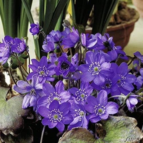 Qulista Samenhaus - Selten heimisches Blau-Violettes Leberblümchen Wildstaude Bodendecker Saatgut Blumensamen winterhart mehrjährig