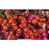 Tomasa Samenhaus- Mischfarben Tagesblumensamen Lampranthus Tenuifolius Sukkulente Garden Haus Ornament Blumen Jahreszeiten fleischig Rosa samen
