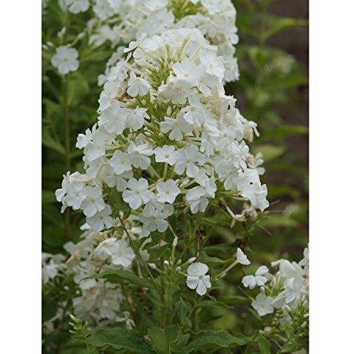 Blumixx Stauden Phlox amplifolia 'Weiße Wolke' - Breitblatt-Flammenblume weiß