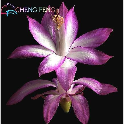30 Pieces / Sac Schlumbergera Seed Crab Cactus Sementes Bonsai pot Balcon Plantation Pour Jardin Cadeau Décoration