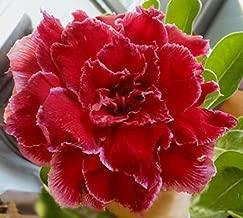 20 Fresh Seeds Adenium Obesum Desert Roses Rare www Quatro-Sun-rose-us