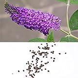 Rosepoem 50 colori misti Semi di Buddleia Butterfly Bush Davidii Butterfly Hybrid