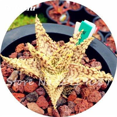 Nouveau! 20 Pcs coloré Cactus Rebutia Variété mélange exotique Aloe Graines Cacti Rare Bureau Cactus comestibles Beauté Succulent Bonsai usine 8