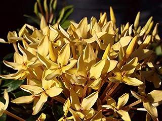 Yellow Dwarf IXORA Miniature (YNKS) Taiwanensis Tropical Low Growing Flowering Shrub Live Plant Starter Size 4 Inch Pot Emerald tm