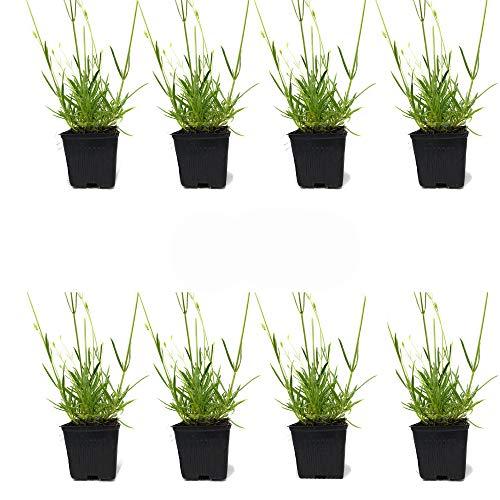 L+ - Lavender Plants Otto Quast Spanish, Zones 7-10, 8 Live Plants, 4' Size Pots