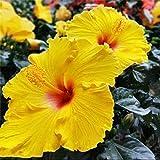 Semillas de hibisco amarillo 70 piezas