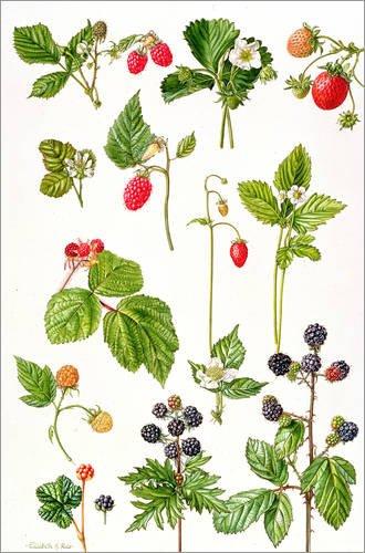 Poster 20 x 30 cm: Erdbeeren, Himbeeren und andere essbare Beeren von Elizabeth Rice/Bridgeman Images - hochwertiger Kunstdruck, neues Kunstposter
