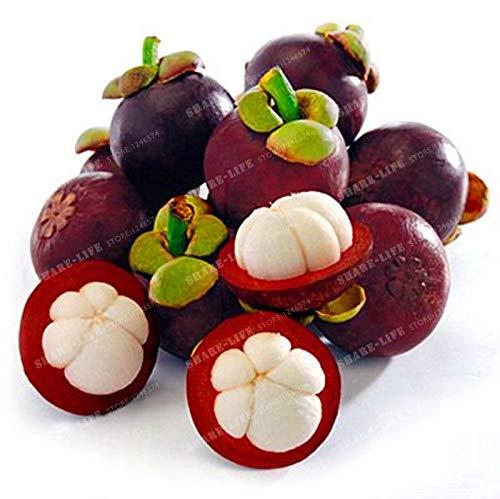 Portal Cool 20pcs familia Clusiaceae Garcinia mangostana Semillas Ãrbol de hoja perenne púrpura Mangoste