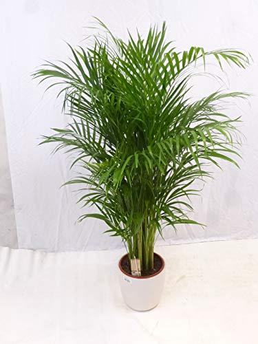 [Palmenlager] Goldfruchtpalme 150 cm - Areca Palme mit dichtem XXL Wuchs - // Zimmerpflanze Zimmerpalme //