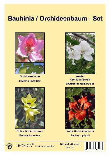 Tropica -Samenset - Orchideenbaum - mit Samen vom Gelben, Roten, Weißen und pinken Orchideenbaum