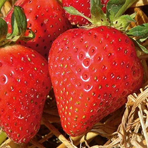 Erdbeere Mara des Bois ® - im großen Topf