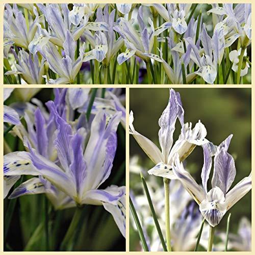 Iris Painted Lady Flower Bulbs. Size 6+ (20)
