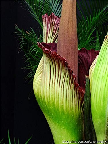 Ferry 100 PC Corpse Blütenpflanzen Wird der Titanwurz auch als bekannt: 1