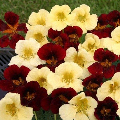 Neu!50 Samen/Packung Kapuzinerkresse Nacht und Tag Blumensamen Mix/Re-Seeding Annual Little Garden