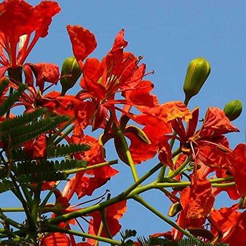 specialty shop Dichondra 15pcs Delonix Industry No. 1 Regia Plant Seeds