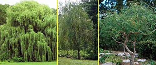 5 Willow Trees- Ready to Plant - 2 Weeping Willow Trees + 2 Austree Hybrid Willow Trees + 1 Corkscrew Willow Tree - Indoor Outdoor Live Trees - Bonsai Starts
