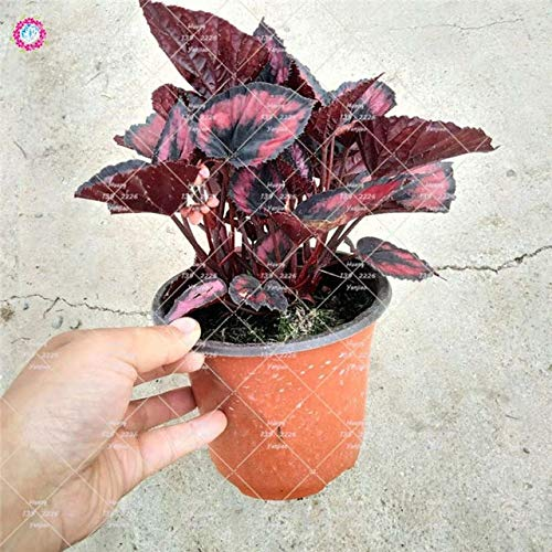 Pinkdose 100 Teile/beutel Begonie pflanze, indoor bonsai blumentöpfe, kleiner garten Begonie, Perilla pflanzen für hausgarten dekoration: 1