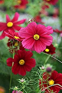 Best potted aster plants sale Reviews