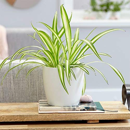 """American Plant Exchange Spider Plant Easy Care Live, 6"""" Pot, Indoor/Outdoor Air Purifier"""