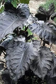 Royal Hawaiian Black Coral Elephant Ear Plant - Colocasia - 4