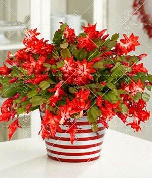 Vistaric 100 PZ Zygocactus Truncatus Schlumbergera Seeds Indoor Piante in vaso Bonsai Piante verdi Per Balcone Cortile 6
