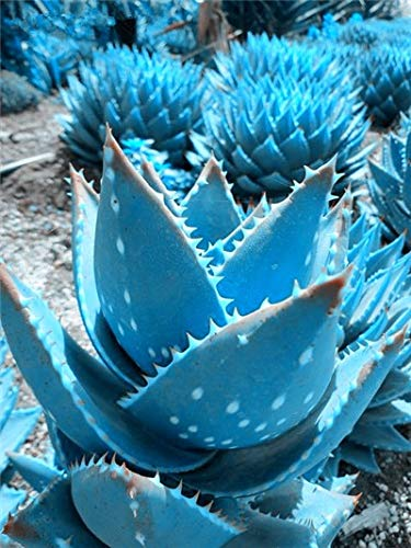 SANHOC 100 PC/Bag Farbe Aloe Vera Pflanze Seltene Kräuter Sukkulente Topf Planta Essbare Bio Bonsai Blumen-Garten-Pflanz reinigen Luft: 7