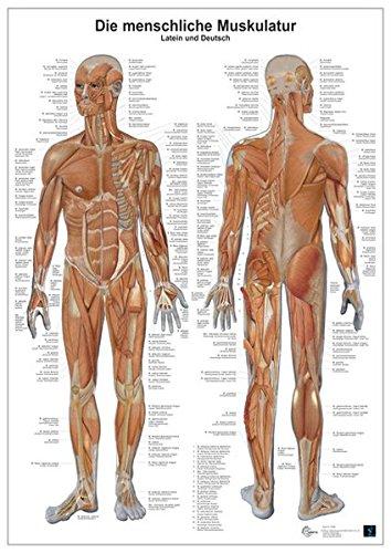 Unknown:<br />Die menschliche Muskulatur: Anatomie-Lerntafel - jetzt bei Amazon bestellen