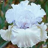 Beaucoup de couleurs Heirloom 50pcs Iris tectorum vivace Fleur Iris Graines de fleurs Graines de jardin: Blanc