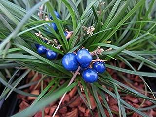 Dwarf Mondo Grass 30 Pips - Healthy Mature Bare Root Live Plants