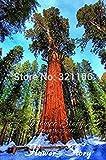 GEOPONICS promotion de SEEDS 20 Graines Sequoia, graines de bonsaï Sequoia, rares, à croissance rapide, les espèces d'arbres les plus précieux