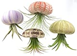aura creations 4 Pcs Sea Urchin Air Plant Jellyfish Lot/Kit Includes Plants, Shells, and Hanging Accessories, Gift Box
