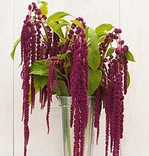 David's Garden Seeds Flower Amaranth Love Lies Bleeding SL1139 (Purple) 200 Non-GMO, Heirloom Seeds
