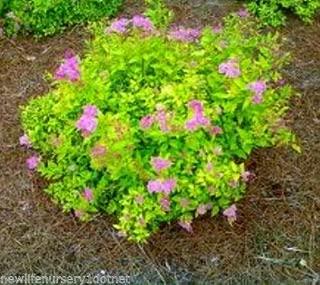 Goldmound Spirea Japonica Live Plant Quart Pot
