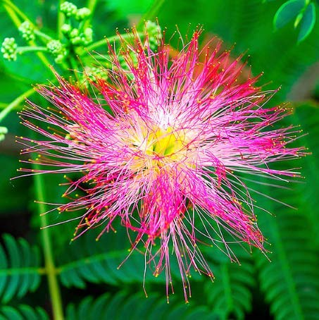 Tomasa Samenhaus- Selten Albizia Samen mehrjährig winterhart Pflanze Saatgut Exotischer Zauber Blumensamen Albizia Samen Zierpflanzen für Terrasse/Balkon/Garten